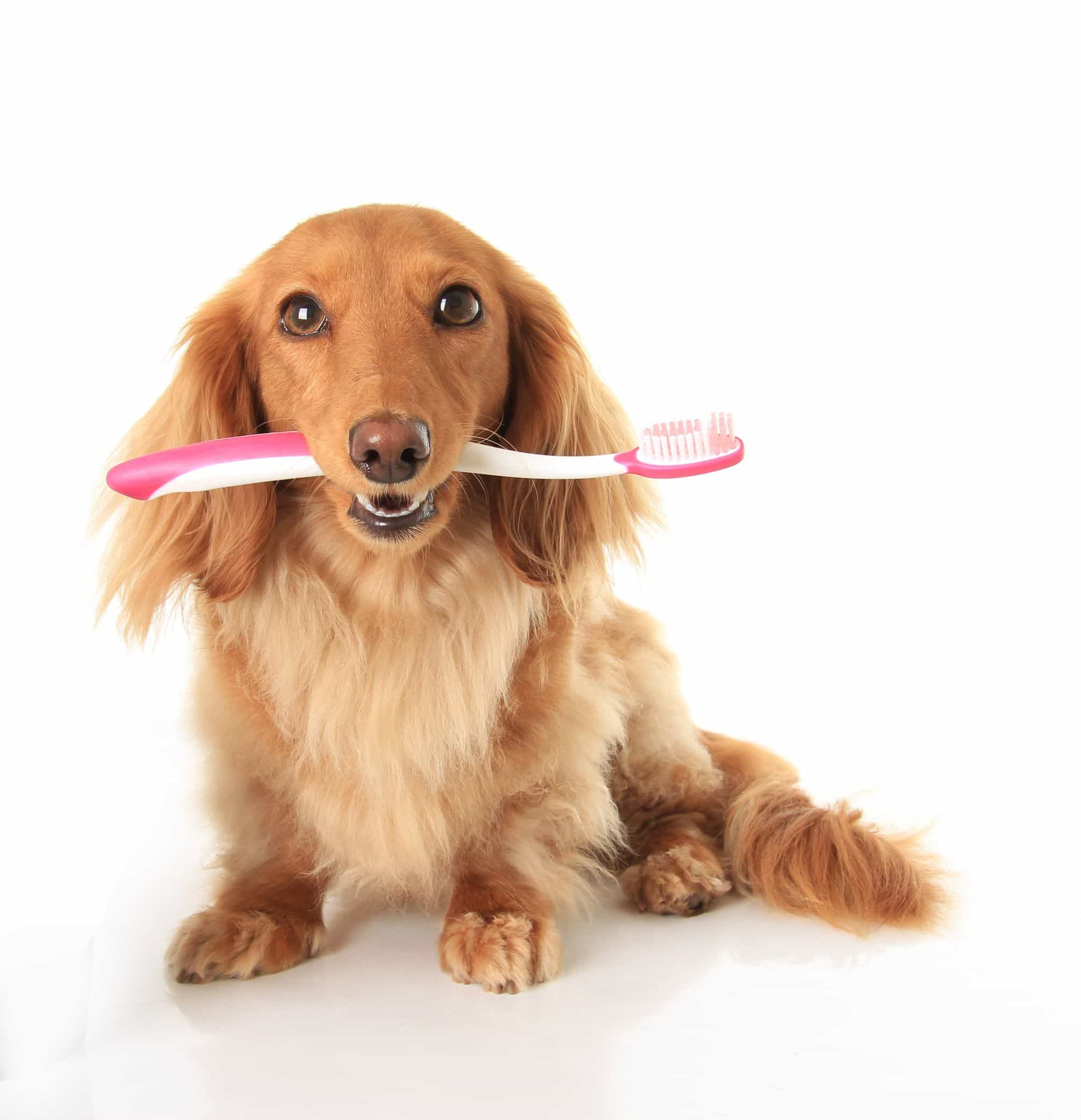 14815590 - dachshund dog with a toothbrush